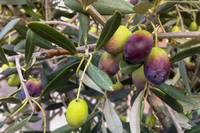 Olives Close Up Detail Tree Young.