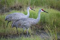 Beautiful Sandhill Crane Pair in Marsh