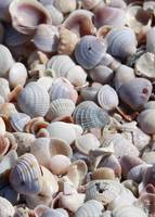 Beach Treasures - Seashells by Carol Groenen