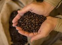 Hands cupped holding roasted coffee beans.