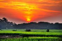 Sunset On The Yellow Mustard Fields