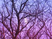 Moon Thru Trees-1