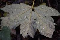 Oak Leaf with drops