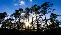 Pine tree sunset, Oxbow Eco-center, FL