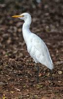 Profile of a Cattle Egret