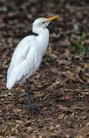 Profile of a Cattle Egret_2
