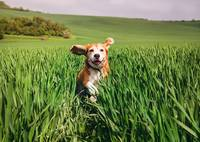 Funny Beagle running by the high green grass