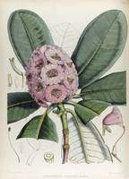 Hooker, Joseph Dalton. THE RHODODENDRONS OF SIKKIM