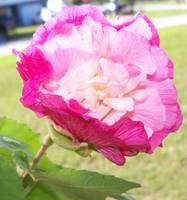802 Confederate rose changes color as the day goes
