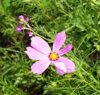 wildflower named Cosmos