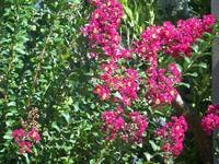 Red crepe myrtle flowers