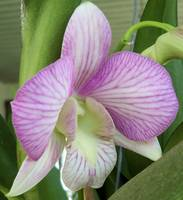 delicate veined purple and white Orchid