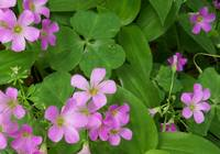 Close up of pink Oxalis flowers