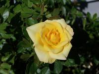 3912 a wild yellow rose