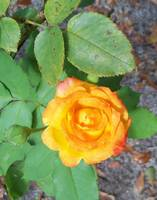 A climbing rose blooms in the mulched garden