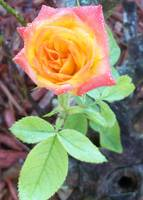 Climbing rose bloom in the morning dew