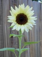 white sunflower 2