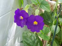4303 Purple thunbergia flowers