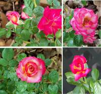 4109 4 different photos of Dick Clark roses in one