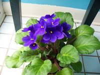 4601 a pot of purple violets  blooming in the spri