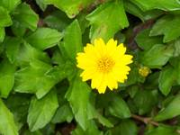 closeup of a yellow trailing daisy
