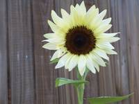 white sunflower 3