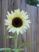 white sunflower 1