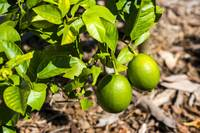 Lemons ripenning on the tree Bokeh background
