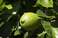 Single lemon Tree Ripening close up Bokeh