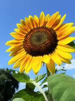 Open Sunflower