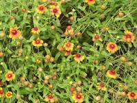 A summer mass of orange and yellow Gaillardia