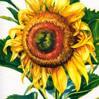 Sunflower 2 Art Prints & Posters by Kelly Eddington