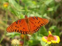 504 an orange gulf fritillary butterfly
