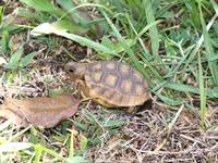 701 Young gopher tortoise in the grass