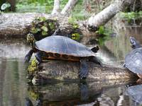 107 its a turtles life along the Silver River