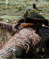 105 turtle balanced on a log in the Silver River