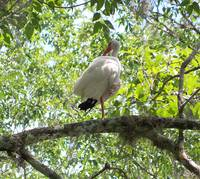 401 Ibis bird up in a tree preens
