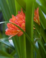Orange Brilliance Peeking Out Between The Leaves by Kirt Tisdale