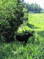 Moose in Little Cottonwood Canyon, Utah - 8