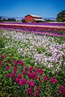California Country Flower Field
