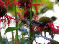 Hummingbird On The Bee Balm