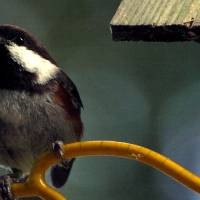 Song Bird in Spring by Richard Thomas