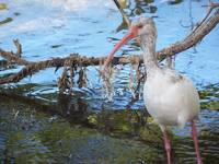 903 White Ibis bird hunts along the shore