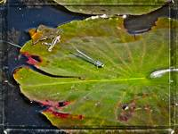 Damselfly on Lily Pad