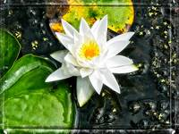 Waterlily and Lilypads