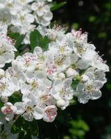 Hawthorn June Blossoms