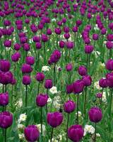 Purple Mass of Tulips