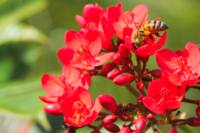 Honeybee on Peregrina (Jatropha integerrima)
