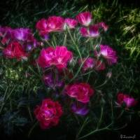 Roses Art Prints & Posters by Barbara Zuzevich