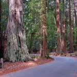 Redwoods gallery